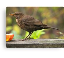 Lady Blackbird........! Canvas Print
