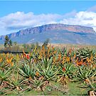 A FEAST OF ALOE'S, VANRIJNSDORP, NAMAQUALAND,SOUTH AFRICA by Magriet Meintjes