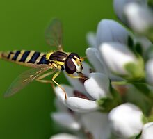 Hoverfly on Loosestrife by Chris Monks