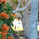Orange Trumpet Vine - Mackay by Margaret Stanton