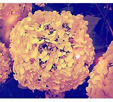 Secret Garden | Hydrangea Snowball Photographic Print