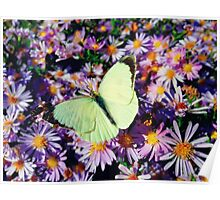 Cabbage butterfly Poster