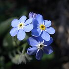 forget-me-not II by Floralynne