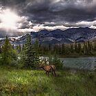 Elk in Jasper National Park by Patrick Kavanagh
