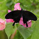 Great Mormon Butterfly by vette