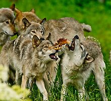 Timber Wolves at Play by WolvesOnly