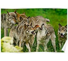 Timber Wolves at Play Poster