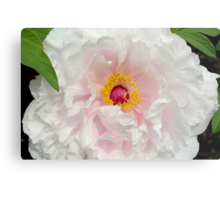 Tree Peony close up Metal Print