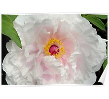 Tree Peony close up Poster