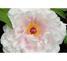 Tree Peony close up Photographic Print