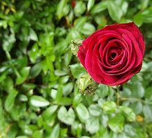 There Are Over 100 Species Of Rose by Fay Freshwater