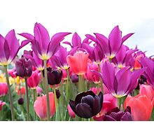 Tulip Pastels Photographic Print