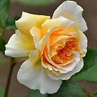 Orange Blush by RoyceRocks