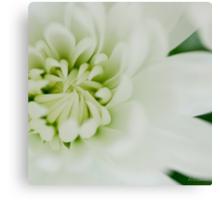 White chrysanth Canvas Print