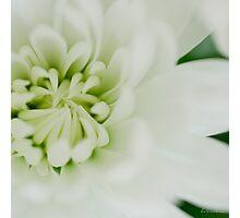 White chrysanth Photographic Print