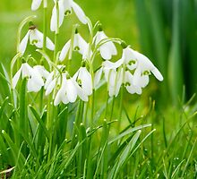 Delicate Snowdrops by Fay Freshwater