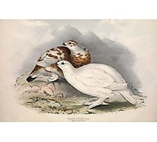 John Gould The Birds of Europe 1837 V1 V5 255 Willow Ptarmigan Photographic Print