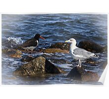 Oystercatcher and Herring Gull Poster
