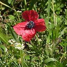 I'm just a lonely Poppy among the weeds!  'Arilka', Mount Pleasant! by Rita Blom