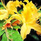 wild golden rhododendron 1 by LoreLeft27