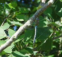 blue dragon-fly by brucemlong