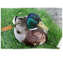 duck on grass Poster