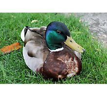 duck on grass Photographic Print