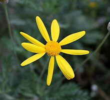 yellow daisy by spetenfia
