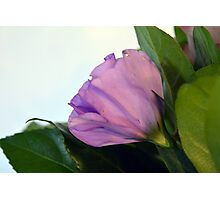 Purple and pink roses closeup  Photographic Print