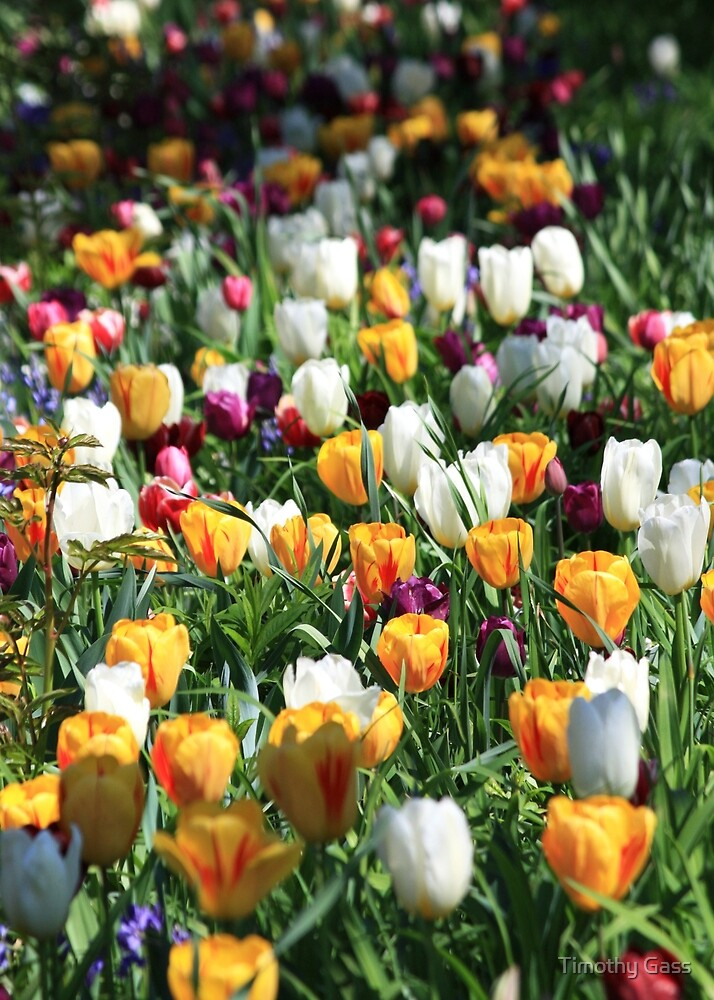 Tulip Background by Timothy Gass
