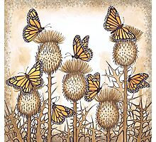 Monarch Butterflies and Spear Thistles Photographic Print