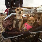Chihuahuas by Rob Hawkins