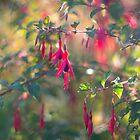 Fuchsia - morning light by CallyM