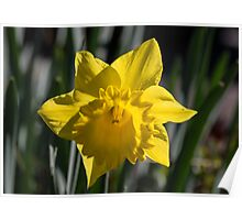 Daffodil at Gazebo Leith Park 20140830 0424 Poster