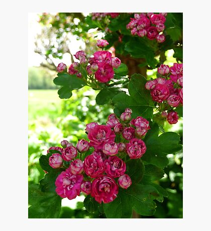 pink blossom flowers Photographic Print