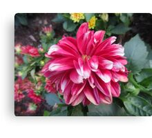 Pink White Tipped Flower Canvas Print