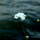 Queen Anne's Lace - River View by Barry W  King