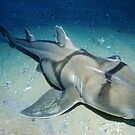 Port Jackson Shark by Erik Schlogl