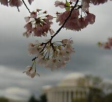 jefferson's sakura by mellychan