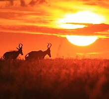 Red Hartebeest - Free and Golden - African Wildlife by LivingWild
