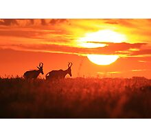 Red Hartebeest - Free and Golden - African Wildlife Photographic Print