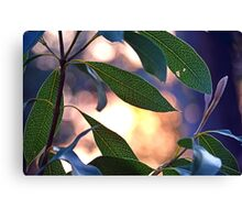 Protea leaves at sunset Canvas Print