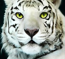 ☝ ☞ LOOKING INTO THE EYES OF THE WHITE TIGER☝ ☞ by ✿✿ Bonita ✿✿ ђєℓℓσ
