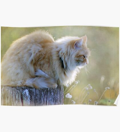 Maine Coon Poster