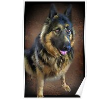 GERMAN SHEPARD PICTURE/CARD Poster