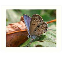 Gossamer-winged butterfly (Lycaenidae) Art Print
