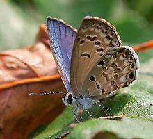 Gossamer-winged butterfly (Lycaenidae) by Bo Christensen