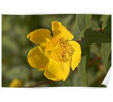 yellow buttercup Poster