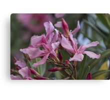oleander in the garden Canvas Print