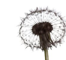 Backlit Dandelion by eclectic1